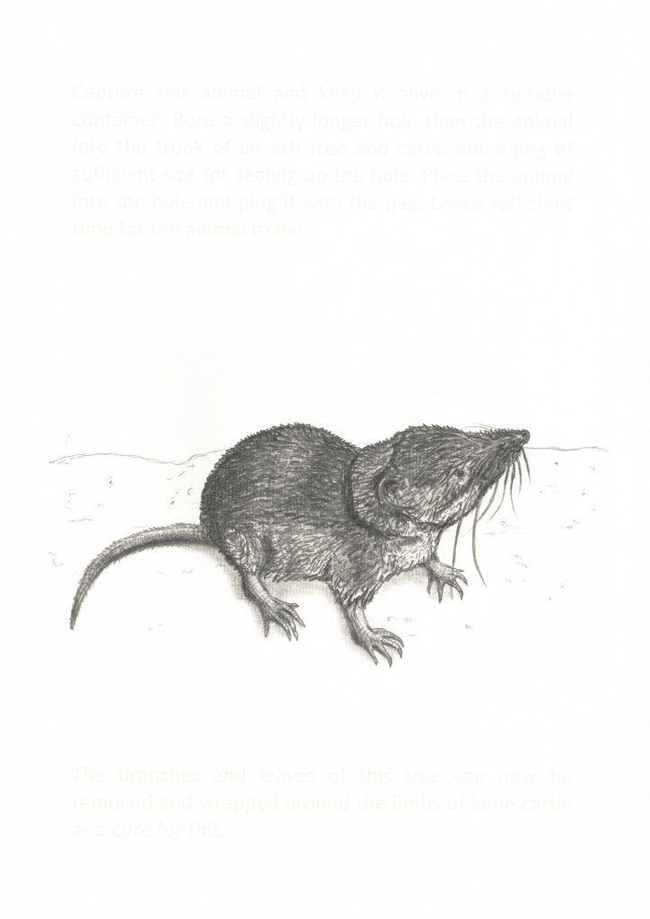 Eurasian Shrew, 2016. Graphite and ink on paper. 28x19.5 cm's.