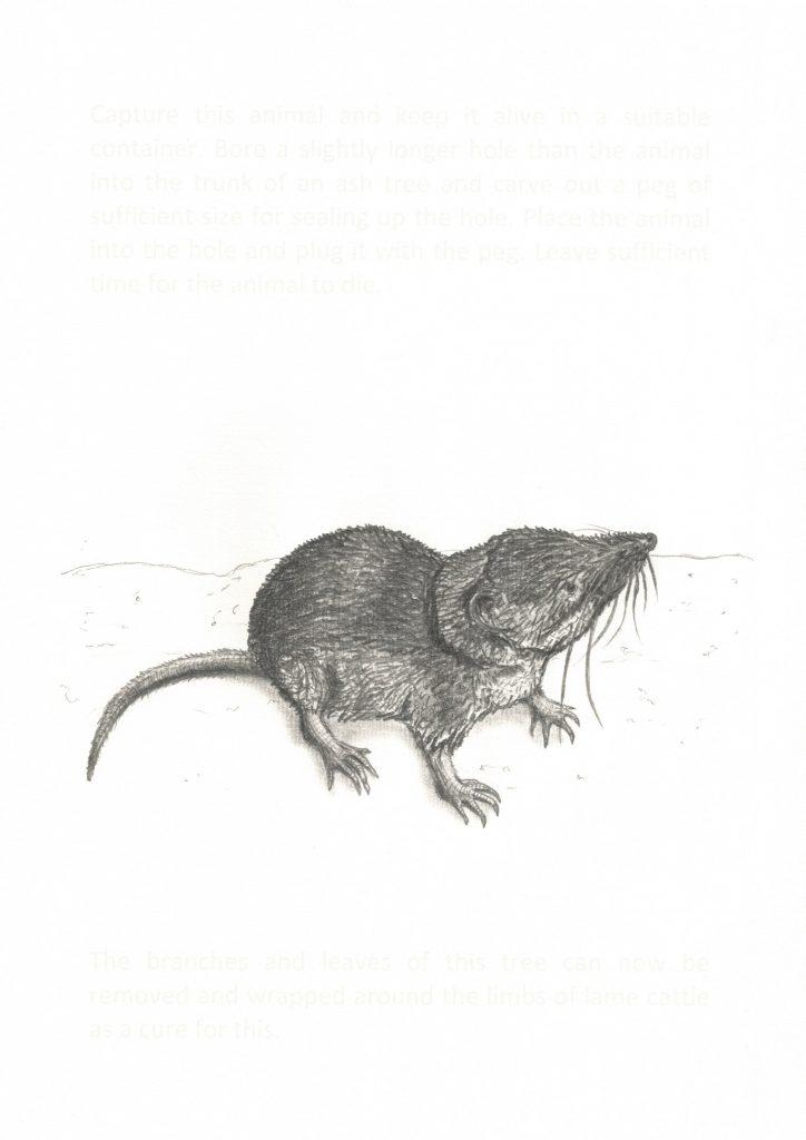 Eurasian Shrew, 2016. Graphite and ink on paper. 28x19.5 cm's.