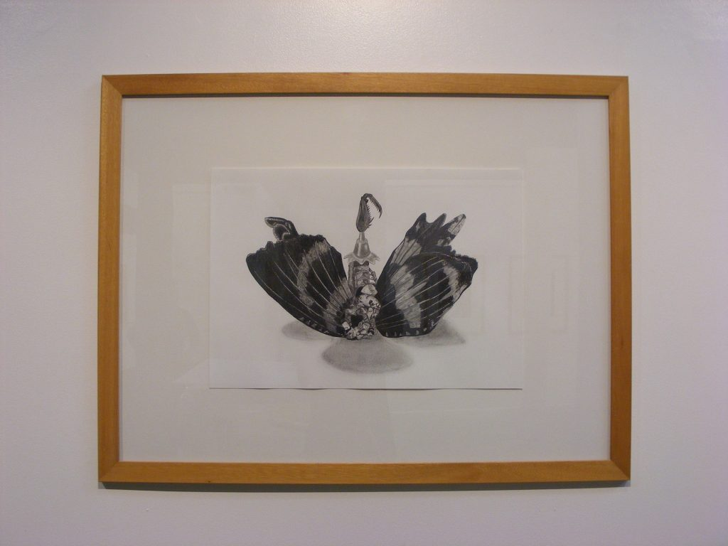 Curio (butterfly), 2011. Graphite on cartridge paper. 42x59cm's.